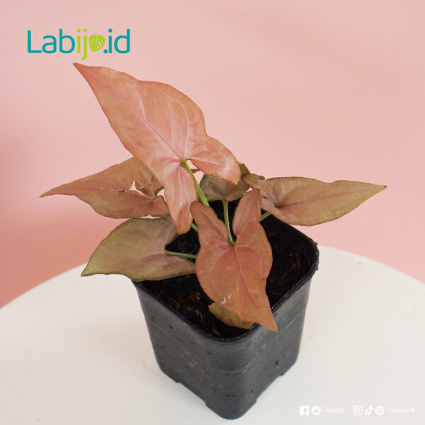 syngonium pink for sale