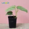 Scindapsus Pictus Exotica Healthy houseplants