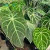 Bunch of Anthurium Magnificum medium