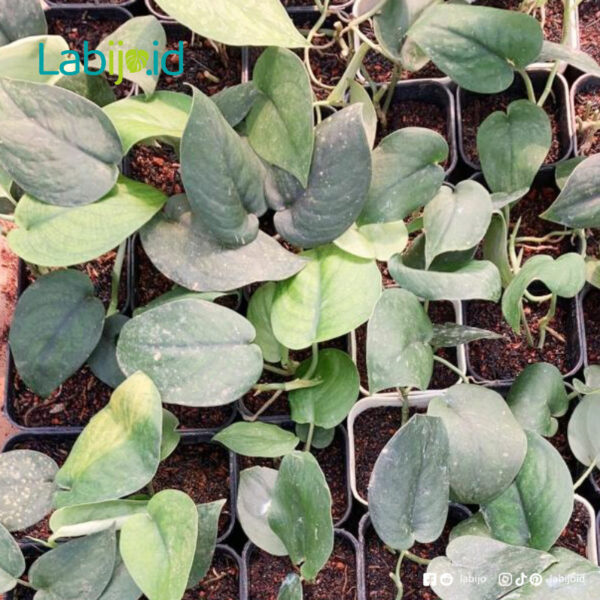 Wholesale Scindapsus Jade Satin for Sale