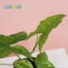 Syngonium Mojito healthy