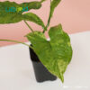 Syngonium Mojito from indonesia
