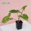 Syngonium Mojito for Sale