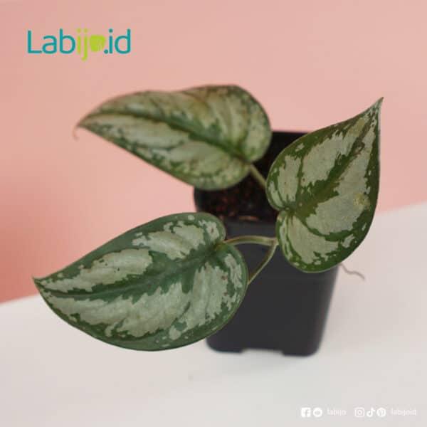 rare Scindapsus Grey from indonesia