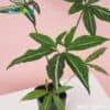 Syngonium Mature Leaf at shop