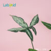 Syngonium Mature Leaf for Sale
