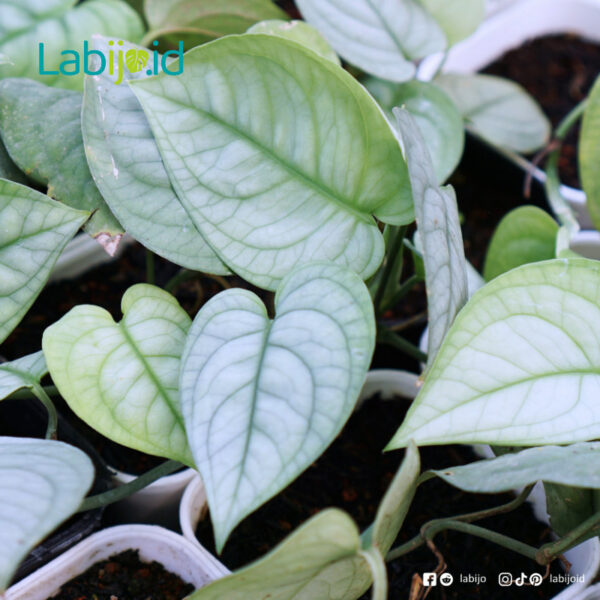 Wholesale Scindapsus Lucens from indonesia
