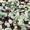 Wholesale Scindapsus Silver Hero for Sale