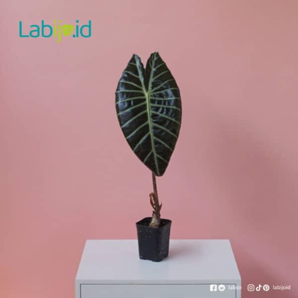 Alocasia Watsoniana for sale