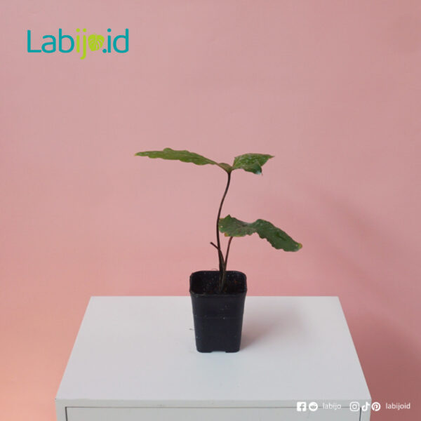 rare Cyrtosperma Hambalii houseplant