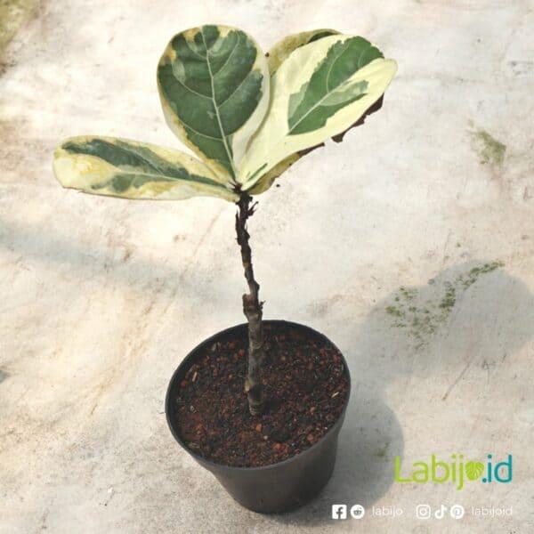 Variegated Fiddle leaf fig Medium Size