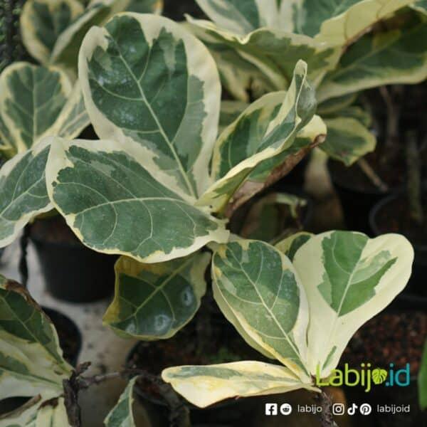 Variegated Fiddle Leaf Fig